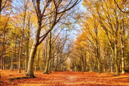 Photo for Forest in full autumn colour. Woodland floor covered in bright orange fall leaves and morning sunlight bursting through the trees - Royalty Free Image