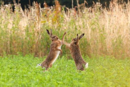 Foto de Boxeo de liebres locas en un campo de cultivo en Norfolk, Reino Unido. Par de animales salvajes luchando entre sí por puñetazos con sus patas delanteras - Imagen libre de derechos