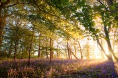 Sunrise in bluebell forest woodland