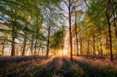 Bluebells forest at sunrise in English landscape
