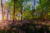 Stunning bluebells woodland at sunrise