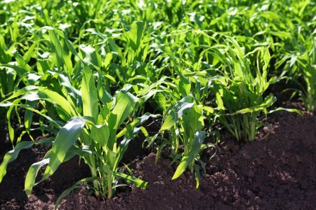 Cultivation of grain crops in the field, green corn