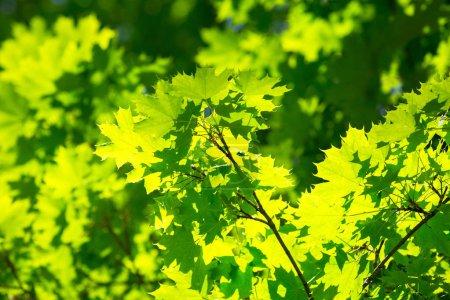 Photo pour Fond de nature verdoyante avec des feuilles d'érable - image libre de droit