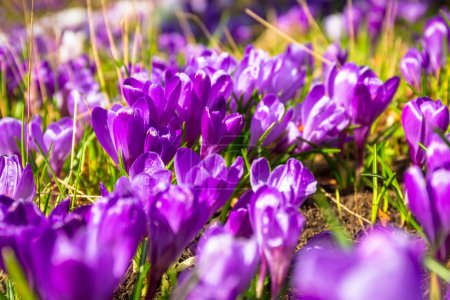 Blossom field of crocus flowers at spring