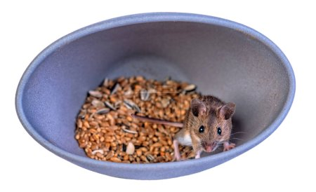 Mouse in grain bowl isolated on white background