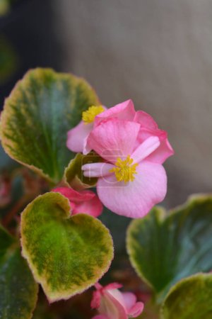 Photo pour Cire rose bégonia - Nom latin - Begonia semperflorens - image libre de droit