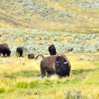 A herd of buffalo in Yellowstone National Park....