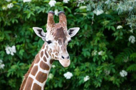 Photo for Portrait of Giraffe (Giraffa camelopardalis) in the Okavango Delta in Botswana, Africa - Royalty Free Image