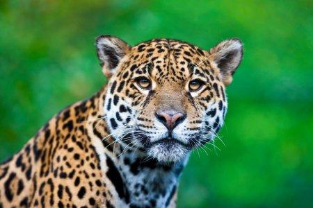 Photo for Beautiful jaguar (lat. Panthera onca) - Royalty Free Image