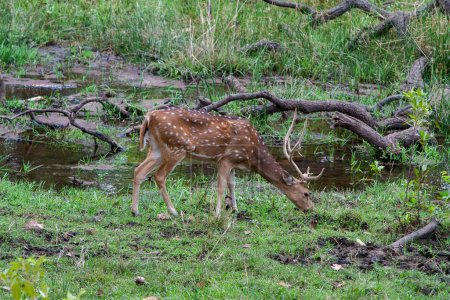 Photo for Chital or cheetal deer (Axis axis), also known as spotted deer or axis deer in the Bandhavgarh National Park in India. Bandhavgarh is located in Madhya Pradesh. - Royalty Free Image