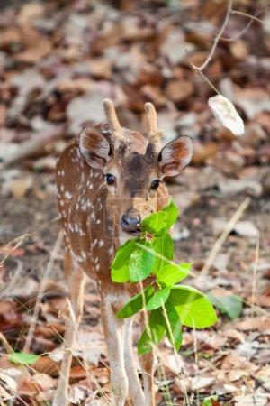 Photo pour Cerf chital ou cheetal (axe de l'axe), également connu sous le nom de cerf tacheté ou cerf axial dans le parc national de Bandhavgarh en Inde. Bandhavgarh est situé dans le Madhya Pradesh. - image libre de droit