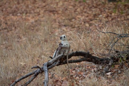 Photo for Gray Langur also known as Hanuman Langur in the Bandhavgarh National Park in India. Bandhavgarh is located in Madhya Pradesh. Indian langurs are lanky, long-tailed monkeys. - Royalty Free Image