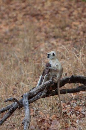 Photo pour Gray Langur est également connu sous le nom de Hanuman Langur dans le parc national de Bandhavgarh en Inde. Bandhavgarh est situé dans le Madhya Pradesh. Les langurs indiens sont des singes à longue queue.. - image libre de droit