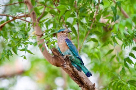 Photo for Indian roller in in the Bandhavgarh National Park in India. Bandhavgarh is located in Madhya Pradesh - Royalty Free Image