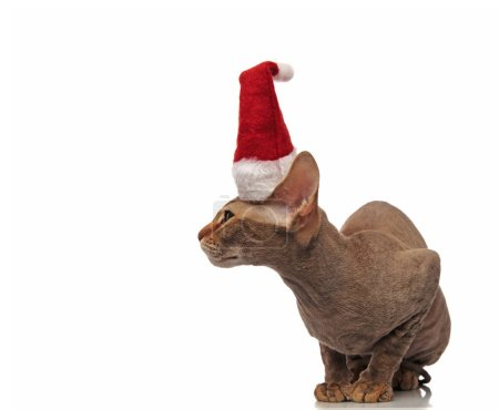 santa metis cat sits on white background and looks to side