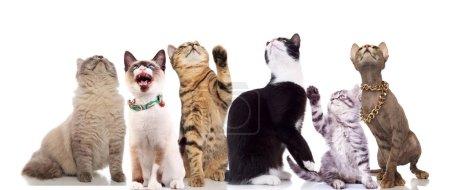 Photo pour L'équipe de regards curieux chats vers le haut en assis ou debout sur un fond blanc, deux d'entre eux ayant thei pattes posées - image libre de droit