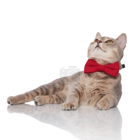 curious metis cat with red bowtie lying on white background and looking up