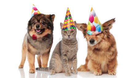 funny party dogs and a cat wearing birthday caps while standing and sitting on white background