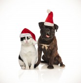 cute christmas couple of cat and dog wearing santa caps sitting on white background