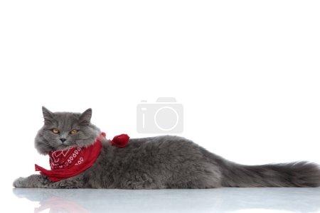 Photo pour Vue latérale d'un superbe chat britannique à poil long avec fourrure grise et bandana rouge couché et regardant la caméra paresseuse sur fond de studio blanc - image libre de droit