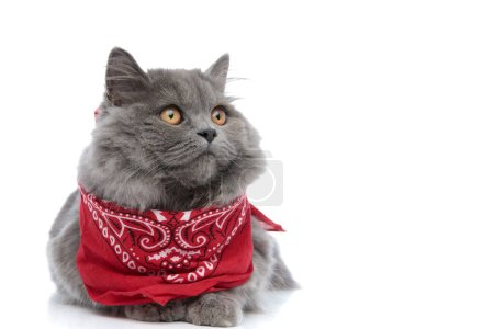 Photo pour Chat à poil long britannique doux avec fourrure grise et bandana rouge couché et regardant loin cher sur fond de studio blanc - image libre de droit