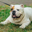 White with orange spot english bulldog lays on the...