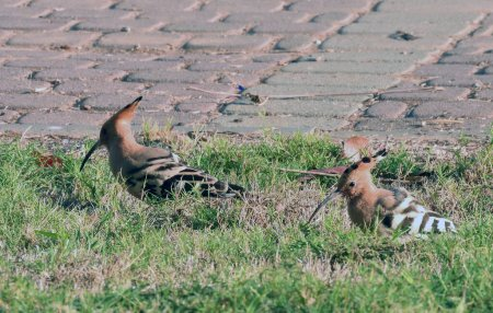 Photo for In 2017, Israel chose the bird revered in the Middle East as the national symbol of the hoopoe - Royalty Free Image