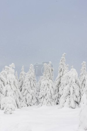 Winter landscape fir trees covered with snow