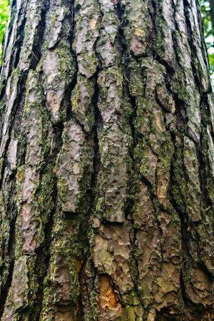 Photo pour Gros plan de l'écorce rugueuse d'un tronc de pin dans la forêt - image libre de droit