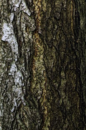 Photo for Texture closeup of a rough bark of a tree trunk - Royalty Free Image