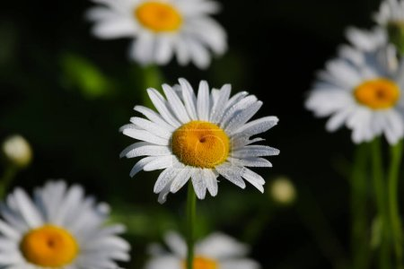 Photo for Oxeye Daisies (Leucanthemum vulgare), shot in Kitchener, Ontario, Canada, where it is actually an invasive species. - Royalty Free Image