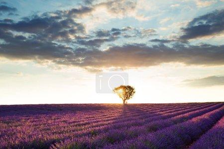 Photo pour Tournage de beaux paysages de champs de lavande au coucher du soleil avec un ciel dramatique . - image libre de droit