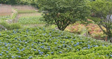 Photo pour Champ de fleurs d'hortensia en montagne - image libre de droit