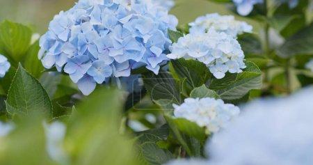 Foto de Cultivo de flores de hortensia de cerca - Imagen libre de derechos