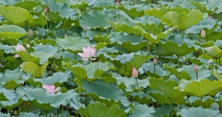 Photo pour Fleurs de lotus rose dans l'étang d'eau - image libre de droit