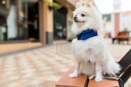Cute pomeranian dog on bench