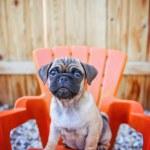 A cute chihuahua pug mix puppy (chug) looking at t...
