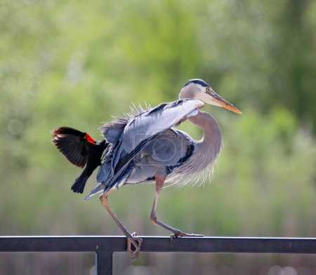 great blue heron getting attacked by a red winged black bird