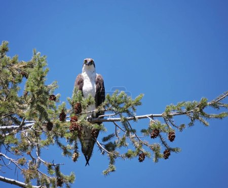 large osprey sitting in a tree close to its nest