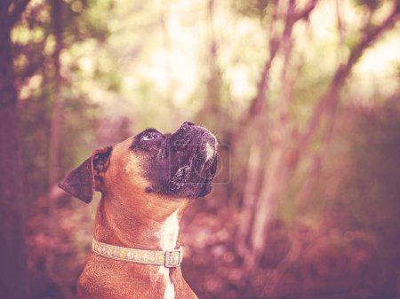 cute boxer out in nature looking up toned with a retro vintage instagram filter