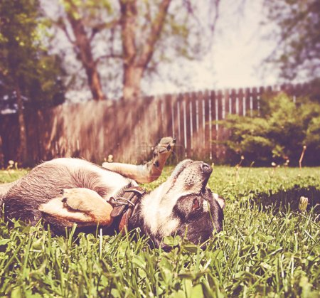 cute chihuahua lying on his back in a backyard toned with a retro vintage instagram filter
