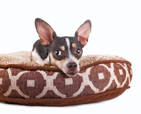 cute chihuahua rat terrier mix on a pet bed isolated on a white background