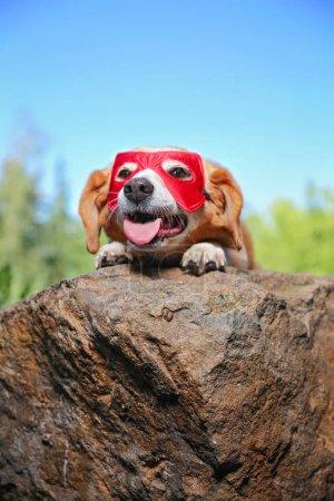 cute beagle in a super hero costume