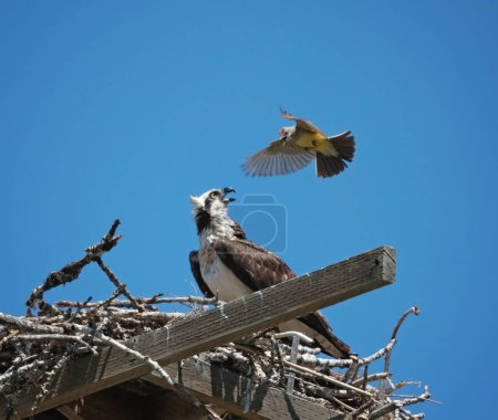 western king bird harassing an osprey in its own nest