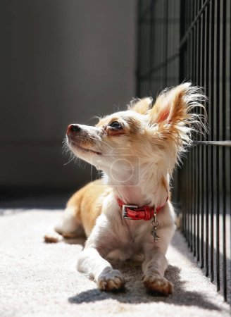 cute chihuahua next to her kennel with sunlight streaming from behind