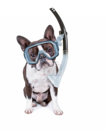 cute boston terrier puppy isolated on white with a diving scuba mask and snorkel