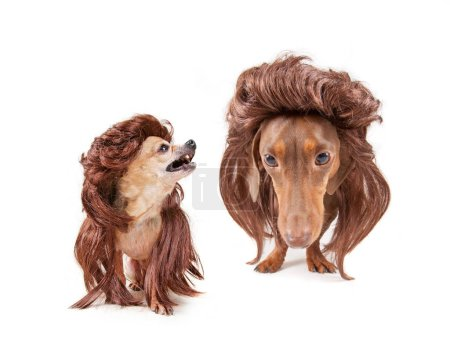 cute dachshund and chihuahua wearing a wig looking at the camera wide angle studio shot isolated on a white background