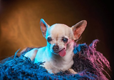 Photo for Cute chihuahua laying in fur with his tongue hanging in a studio shot isolated on a colorful background - Royalty Free Image