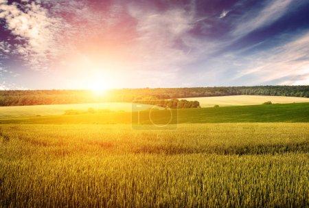 Foto de Campo de trigo, cielo azul y amanecer en estilo retro. Espacio libre para texto . - Imagen libre de derechos