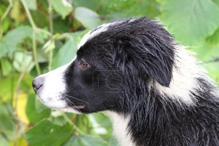 Profile of a young Border Collie dog all wet after working with a herd of sheep under the rain